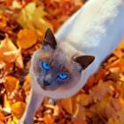 Blue eyes of Siam.