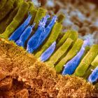 Анатомия сетчатка человека: палочки и колбочки.
