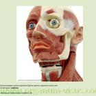 Анатомия орбиты. Кунсткамера глаза портала Орган зрения www.organum-visus.com