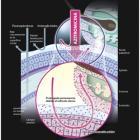 Азидроп, Azydrop. Антибиотик-азалид. Механизм действия. Аптека для глаз портала Орган зрения www.organum-visus.com