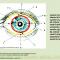 Ocular surface. Dry eye. Новости офтальмологии портала Орган зрения www.organum-visus.com