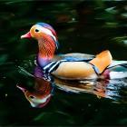 Mandarin Duck. Утка-мандаринка.