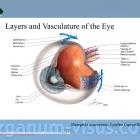 Кровоснабжение глаза. Офтальмологический портал Орган зрения www.organum-visus.com